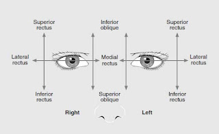 Diagram of eye muscle action