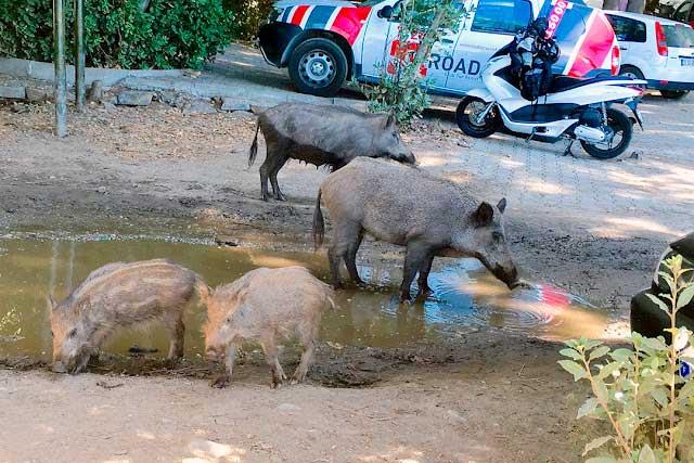 Kuşadası'na tatile geldiyseniz domuz sürüleriyle karşılaşmanız çok doğaldır.