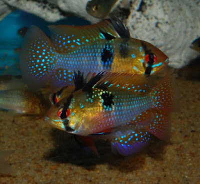 Cara Budidaya Ikan Ramirezi