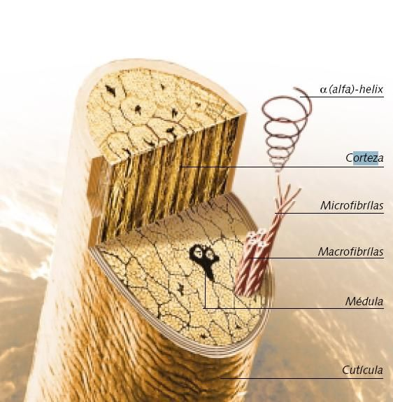 esquema fibra capilar