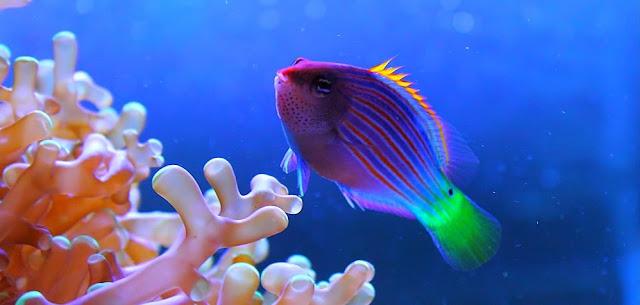 Gambar Ikan Six Line Wrasse - Budidaya Ikan