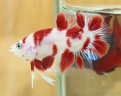 Koi Bettamy Experience And Top Of My Koi Hmpks Betta Fish Care