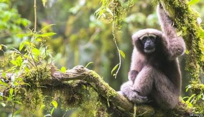 Spesies Baru Siamang Ditemukan di Hutan China