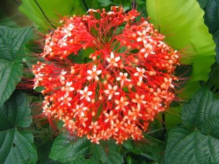 manfaat bunga pagoda bagi kesehatan,manfaat bunga pagoda putih,manfaat bunga pagoda,manfaat akar bunga pagoda,manfaat daun bunga pagoda,manfaat bunga pagoda untuk kesehatan,manfaat tanaman bunga pagoda