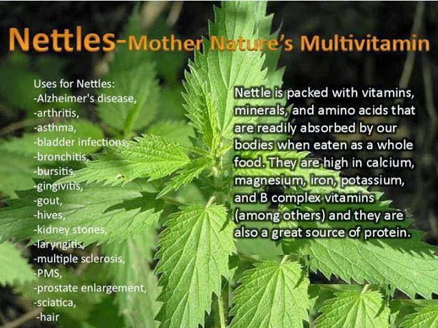 Living Without Lupus Stinging Nettle Urtica Dioica The