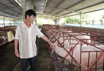 Người nuôi heo ở Đồng Nai đang gặp khó vì đề án truy xuất nguồn gốc. Ảnh: Nguyên Vỹ