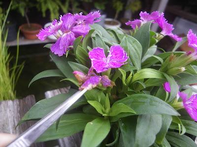 花がら摘み ピンセット