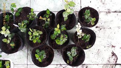 Một số chậu thằn lằn cẩm thạch vừa trồng xong