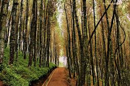 Hutan Pinus Mangunan, Destinasi Wisata Wajib di Yogyakarta