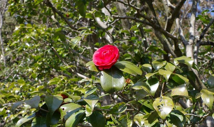 背の高い木に咲く椿