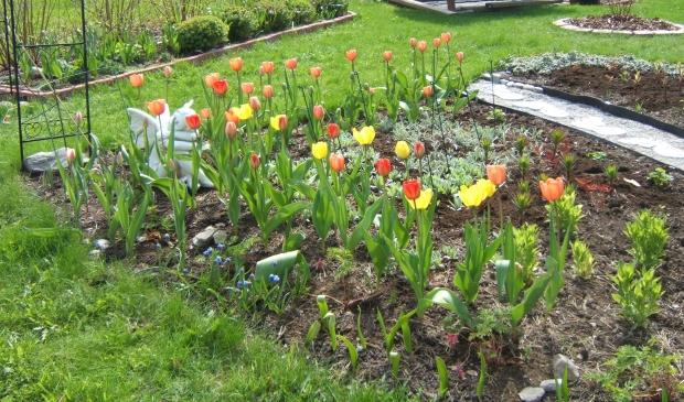 Kevät tulppaanit Maalaiskaupunginpiha