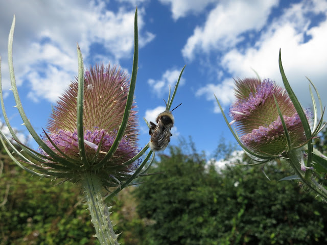 Bee on Teasels, Dorset