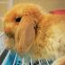 เลี้ยงกระต่าย ฮอลแลนด์ ลอป ( holland lop ) ยอดนิยม