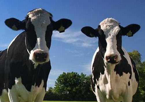 Idéias de Nomes para Vacas