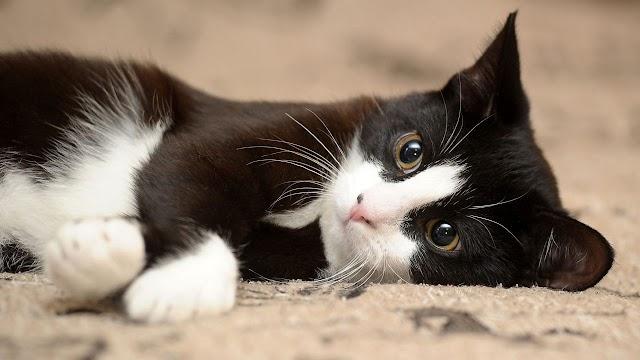 Το πολύτιμο αμινοξύ που προστατεύει την υγεία της γάτας