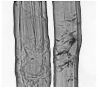 Longitudinal-View-500X-Ramie-fibre