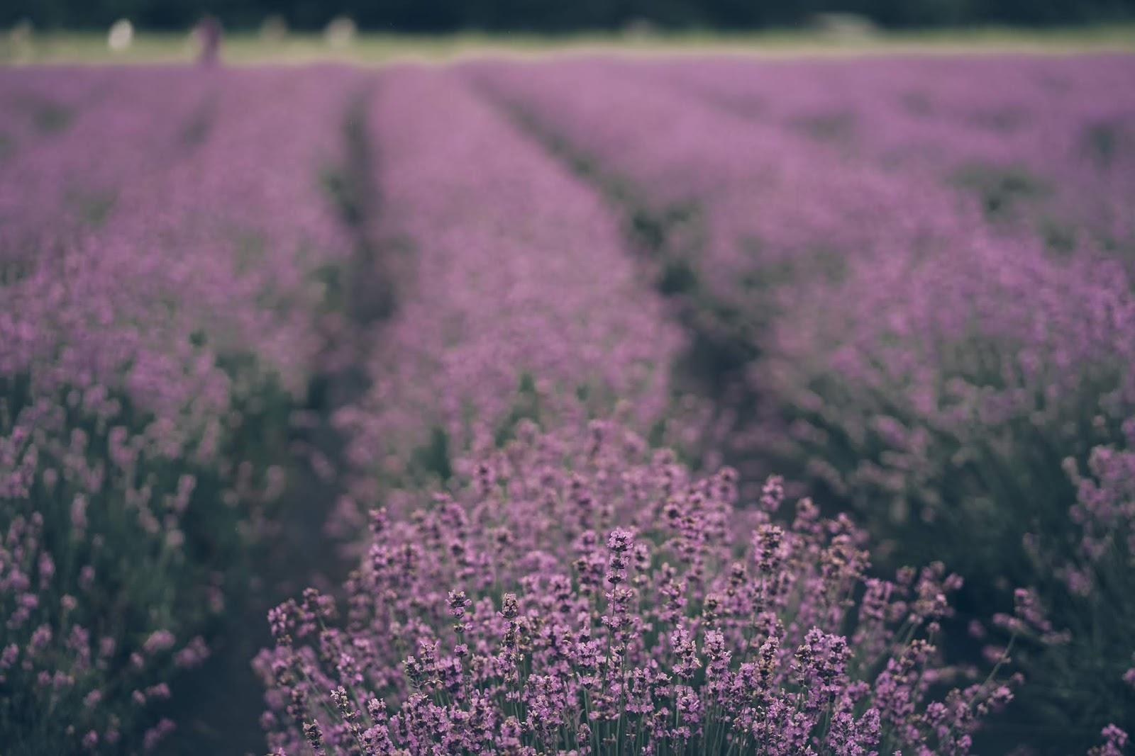 Hani Lavender Farm Festival 2019 - 하늬라벤더팜 축제 - Mini