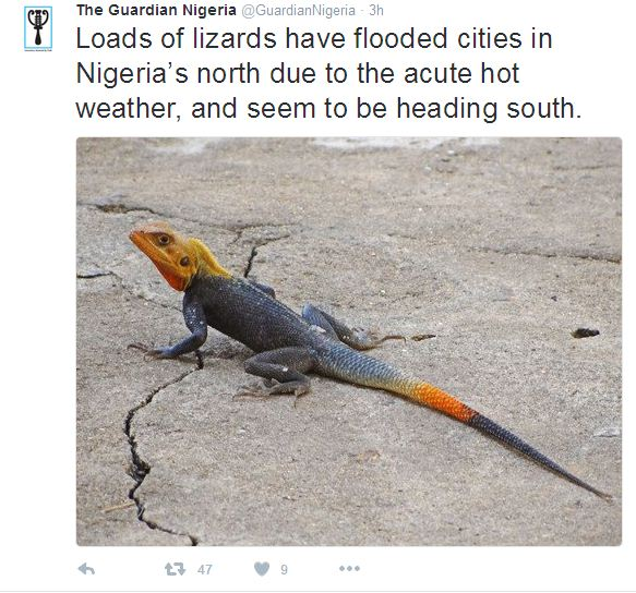 Report: Thousands of Agama Lizards To Invade Southern Part Of Nigeria