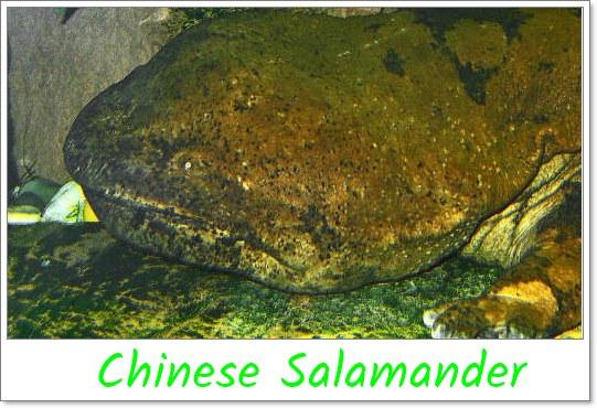 Chinese-Salamander-biggest-animal