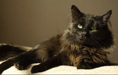 Kucing Chantilly