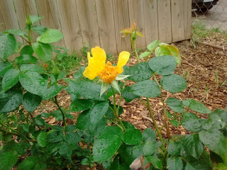 1st Rose of Year shaped like a Butterfly Bloomed Easter Sunday