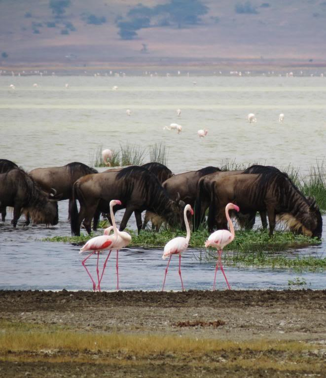 Picture of flamingo's and wildebeests.