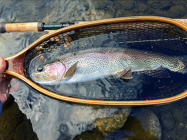 Another beautiful rosy cheeked rainbow trout from home pool on the Delaware