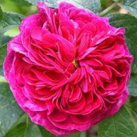 Charles de Mills (Rosa gallica)
