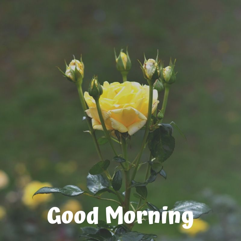 100 Good Morning Images Yellow Rose Images 2020 Hd Images