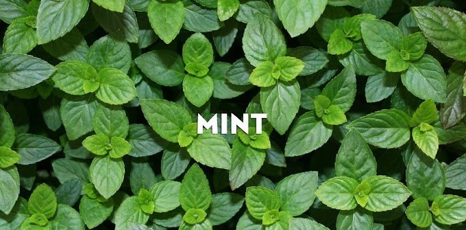 Healthy Benefits Of Mint in Daily Life