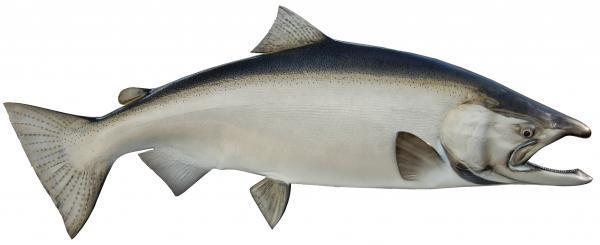 THE FISHING NEWS: 60lbs King Salmon. Possibility or Days of the Past?
