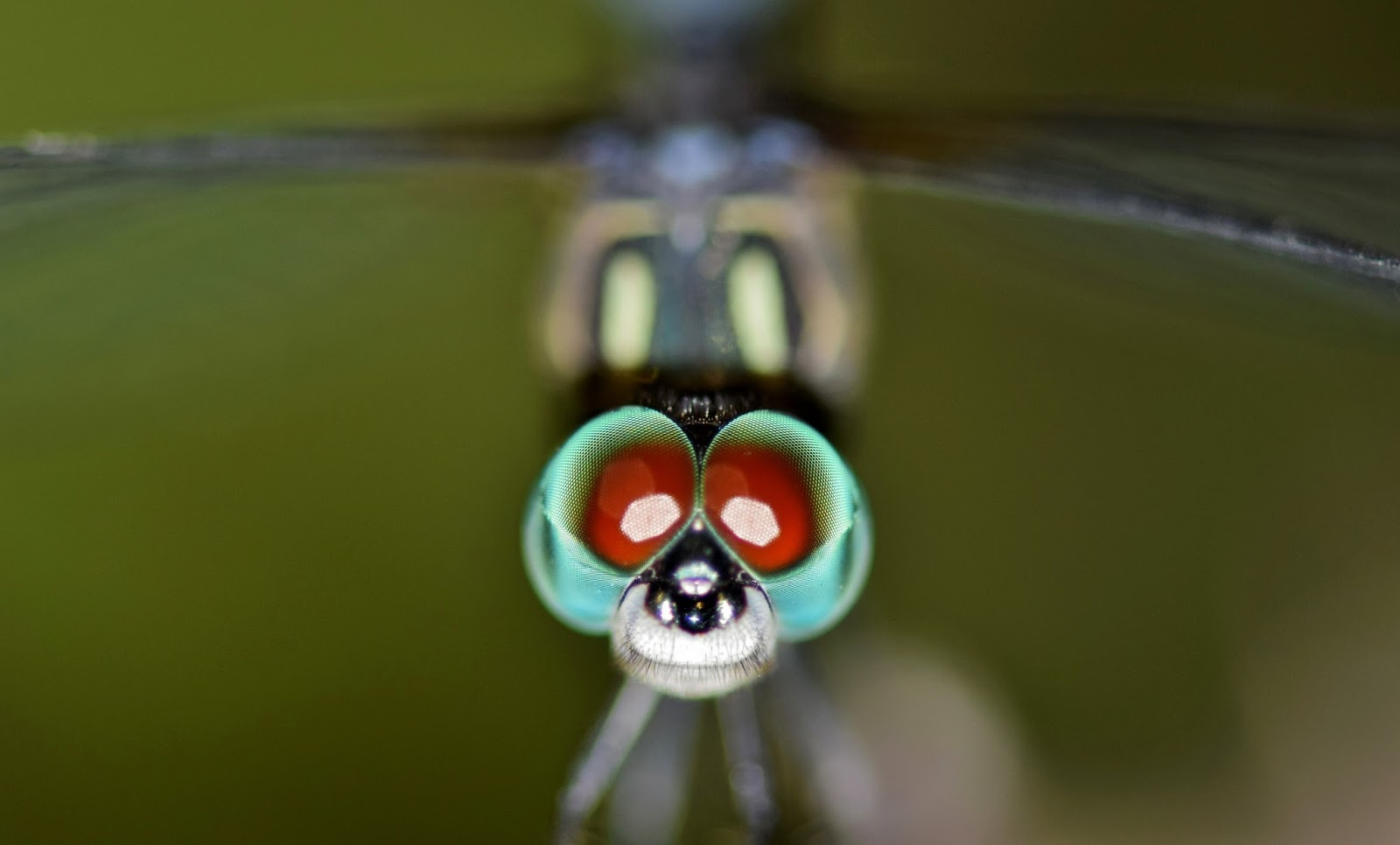Picture of compound eyes of a dragonfly.