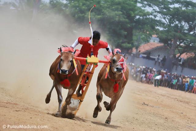 Sejarah Karapan Sapi Madura