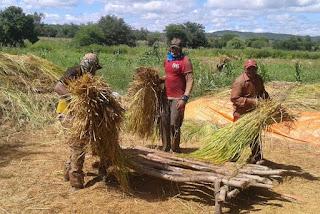 Em meio a aumento do preço nos supermercados, Paraíba amplia safra e deve produzir 2.459 toneladas de arroz em 2020