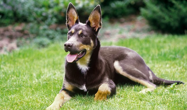 All You Need to Know about Australian Kelpie Breed