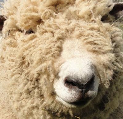 Ryeland Sheep Origin, Facts, Weight, Meat & Wool Quality