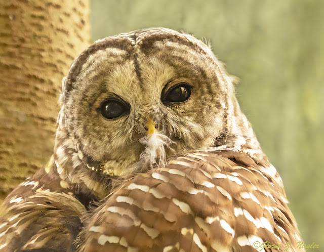 A close up of a barred owl with his head slightly turned, looking at the camera with big round eyes. His tan and white striped wings are hunched up. His beak is full of fluff from grooming his feathers.