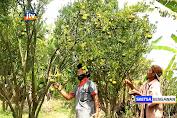 Melihat Budidaya Jeruk Keprok Di Desa Ngunut Bojonegoro