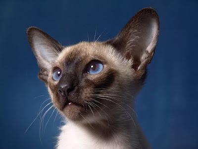 القط السيامي : Siamese Cat