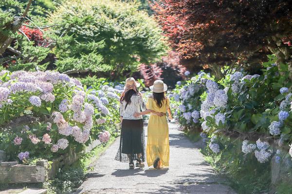 南投杉林溪繡球花盛開,滿滿彩色繡球花好好拍,旅行避暑好去處