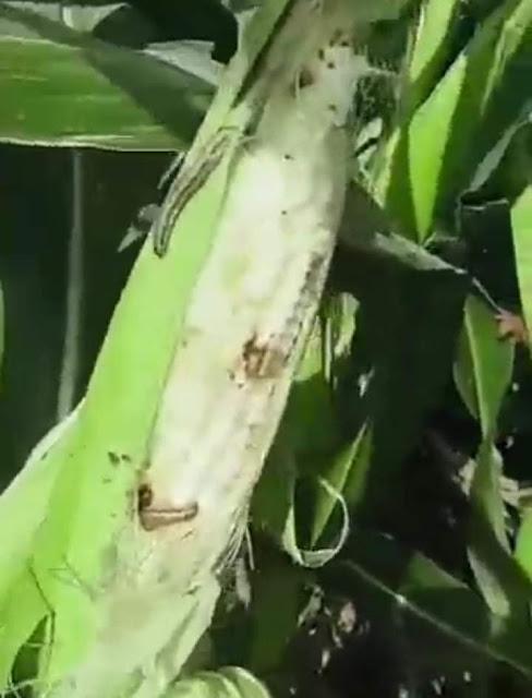 بسبب انتشارها فى المحصول الزراعي مواطن بقرية الصلعا يستغيث من الحشرة الجياشية ويناشد المحافظ