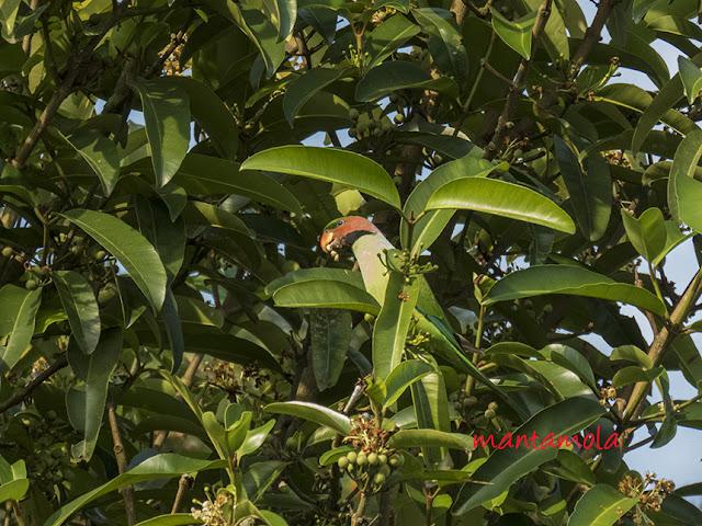 Long-Tailed Parakeet, Bintangor Bunut,