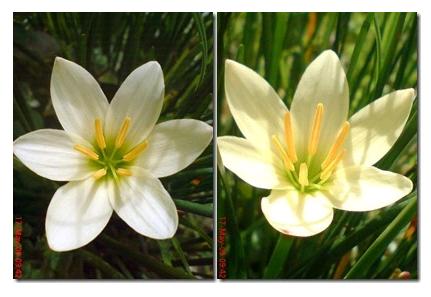 Klasifikasi Bunga Bawang-Bawangan