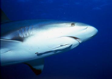 mutualism shark and remora relationship
