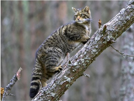 Gato salvaje escocés