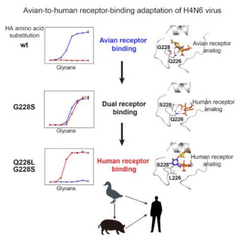 hemagglutinin diagram avian flu diary cell avian to human receptor binding adaptation  avian to human receptor binding