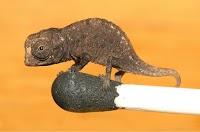 أصغر حرباء في العالم تم العثور عليها في مدغشقر