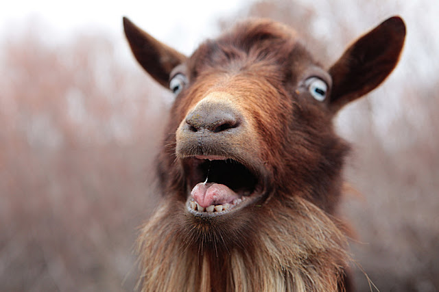 Interesting Goat Facts In Hindi