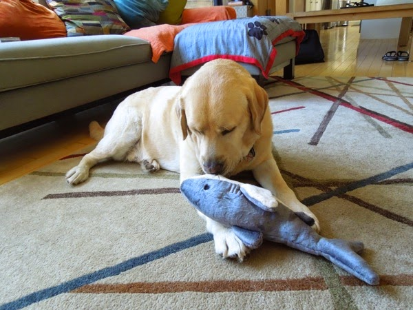 Yellow Labrador Cooper shark toy