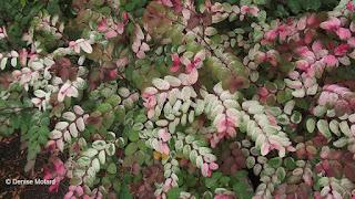 Pink-silvery foliage, Queen Kapiolani Garden, Waikiki, HI